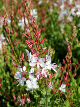 gaura-flamingo-white2.jpg